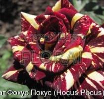 Роза патио Hocus Pocus