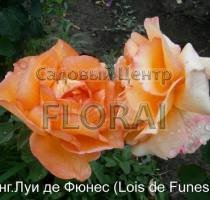 Роза кустовая  английская Louis de Funes
