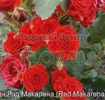 Роза спрей Red Makarena в контейнере с ЗКС