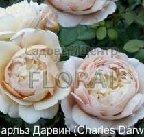Роза кустовая английская Charles Darwin