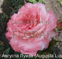 Роза кустовая  английская Augusta Luise в контейнере с ЗКС