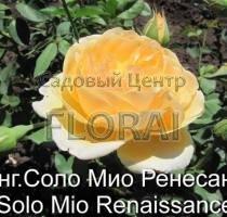 Роза кустовая  английская Solo Mio Renaissance