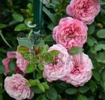 Роза плетистая Eva. Высота 2 м