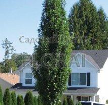 Дуб болотный Green Pillar. Высота 300-350 см. С65