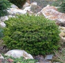 Ель обыкновенная Little Gem, высота 15-20 см, С2