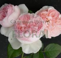 Роза шраб английская Eden Rose