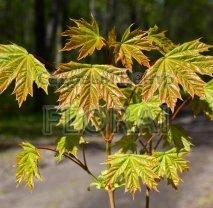Клен остролистный (platanoides). Высота 200+ см