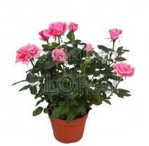 Роза комнатная 40 см / Р17