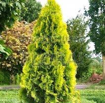 Туя западная Golden Smaragd. Высота 80/100 см. C10
