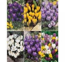 Крокусы Large Flowering. 6 сортов (71680) Цена за 1 шт.