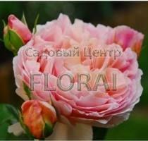 Роза Abraham Darby на среднем штамбе