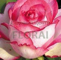 Роза Attracta