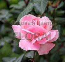 Роза Beverly на среднем штамбе на среднем штамбе  1/2St