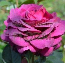 Роза куст Big Purple