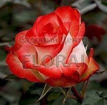 Роза кустовая Blush