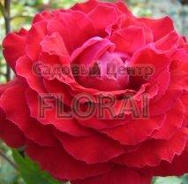 Роза Botero на  штамбе