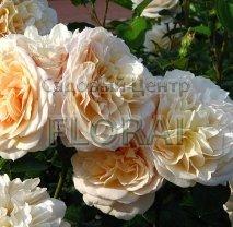 Роза кустовая английская English Garden в контейнере с ЗКС