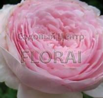 Роза шраб английская Heritage