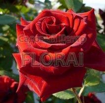 Роза кустовая Marychka в контейнере