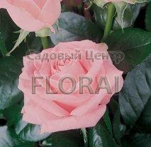 Роза Merhen Kenengen