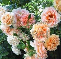 Роза плетистая английская Polka