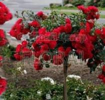 Роза Roter Korsar pendula на высоком штамбе (3/4 St)