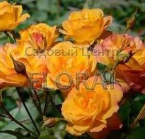 Роза шраб Sahara