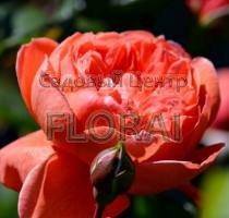 Роза шраб Summer Song