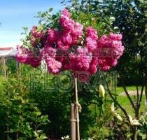 Роза плетистая Super Dorothy на высоком штамбе  (3/4 St)