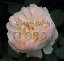 Роза The Lady Gardener