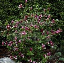 Магнолия лилиецветная (liliiflora) Nigra. Высота 1,5-1,75 м