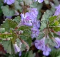 Олива Europaea на штамбе 20/25