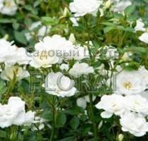 Роза спрей Kent