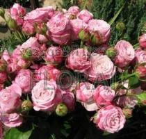 Роза спрей Lady Bombastic