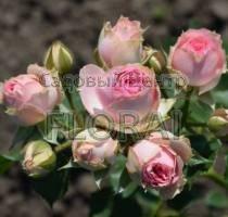 Роза спрей Mimi Eden