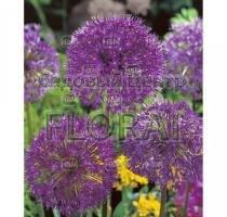 Аллиум Purple Sensation (3289)