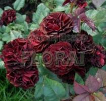 Роза спрей Red Sensation