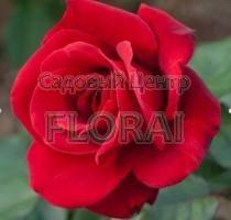Роза спрей Super Red в контейнере с ЗКС