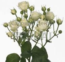 Роза спрей White Bubbles