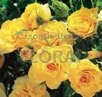 Роза спрей Yellow Baby в контейнере с ЗКС