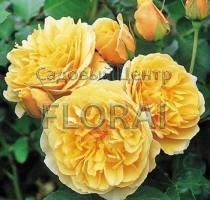 Роза английская Graham Thomas