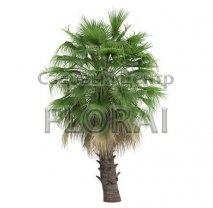 Сабаль пальмовидный. Высота с вазоном 2,5 м. С110