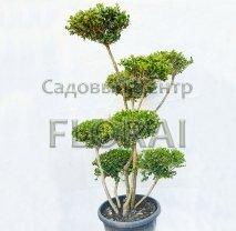Самшит мелколистный (microphylla) Foulkner. Ponpon. Высота 135 см