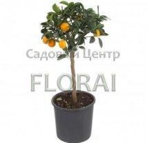 Клементин (Сitrus Clementina) на низком штамбе