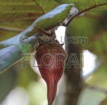 Лещина большая Purpurea - АКЦИЯ