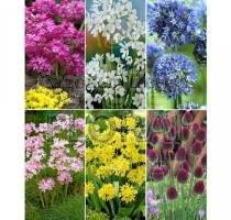 Аллиумы мелкоцветковые Small flowering (71085). Цена за 1 шт