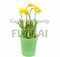Нарцисс желтый  Голландия 15 см Р12 (5 шт в контейнере)