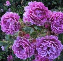 Роза 2 штамба