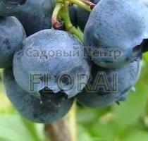 Голубика Bluecrop C1,5