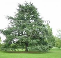 Кедр атласский Verde (зеленый) Высота 275-300 Cм